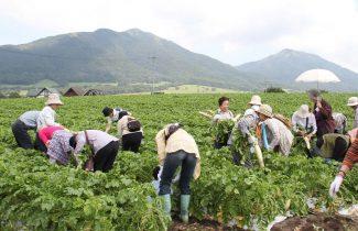 蒜山大根収穫体験