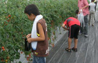 トマト収穫体験