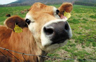 ジャージー牛体験A[見学+搾乳体験+餌やり]